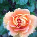 Peach Roese