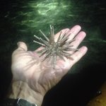 Holding a pencil urchin