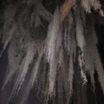 Moss hanging from trees (night)
