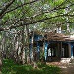 Pavillion under the banyan