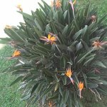 Birds of Paradise on the property