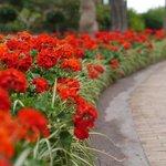 Beautiful geraniums in the gardens