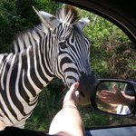 This zebra fell in love with my wife and was there to say goodbye when we left!