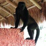 Monkey on the balcony rm#2747