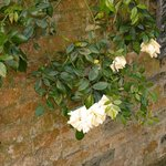 white trailing rose running along the wall