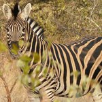 Saw Zebras almost everyday.