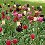Variedades de tulipanes