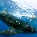 Amazing Whale Shark tour