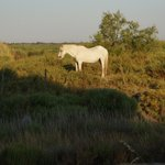 White horse in the nearby pasture