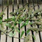 Iguanas feeding