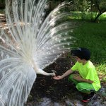 Feeding the White Peacock
