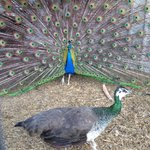 Peacocks strutting their stuff at the Amish Village!