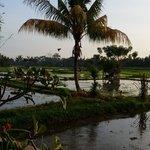 Balinese at work, planting Rice