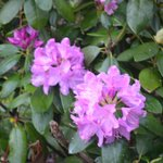 Rhododendrons are beginning to bloom