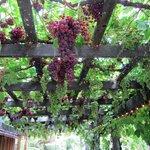Grape arbor on the barn ~ tasty table grapes.