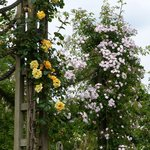 Queen Mary Rose Garden at Regent's Park (3)