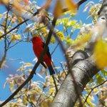 scarlett tanager