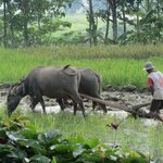ploughing the rice field next to the villa
