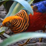 A red golden pheasant I think