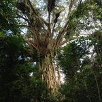 Visit cathedral fig tree (look out for turn off on left) before Yungaburra on way to Atherton. O