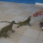 Feeding the iguanas