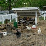 Farm: Hens