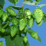 Cascade hop cones ready for harvest to local breweries