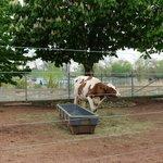 Farm: Cow