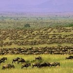 Wildebeest Migration in Serengeti Plains