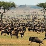 Serengeti Wildebeest Migration.