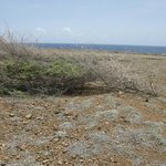 Shrub flattened by the trade wind