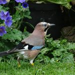 The Jay in Sandras Garden