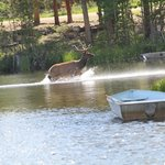 elk in the lake