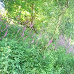 Penllergare Woods - a host of foxgloves
