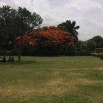Flame tree in grounds