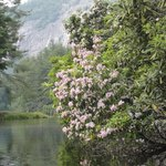 Mountain Laurel along Hampton Lake