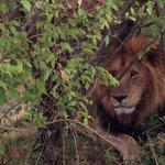 одинокий старый лев