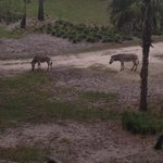 zebras from our deck