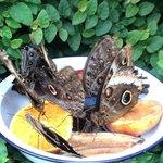 Butterflies feeding on fruit