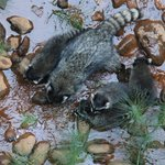 Raccoon in Creek by room