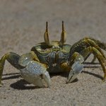 Crab portret