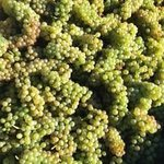 Viognier grapes just before we crush them. Circa 2013