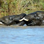 River Cruise - Playful elephants