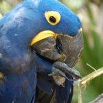 Blue Mackaw