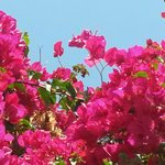 bougainvillea in the garden of Villa Cao