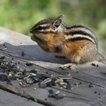 Chipmunks always come 'round, begging for a treat