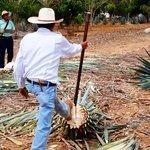 Como cortar o agave