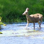 Deer Runs Through THIS River, Headwaters of the Metolius