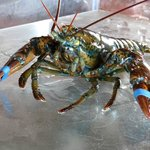 Fresh from the Lobster Tank