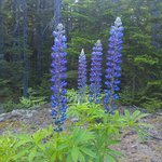 June Lupines